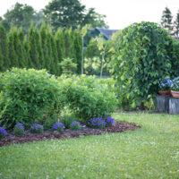 Campanula carpatica `Pearl Blue` karpaadi kellukas (3)