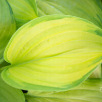 Hosta `Stained Glass` (3)