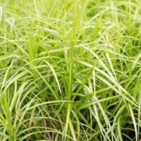 Carex muskingumensis palmilehine tarn (1)