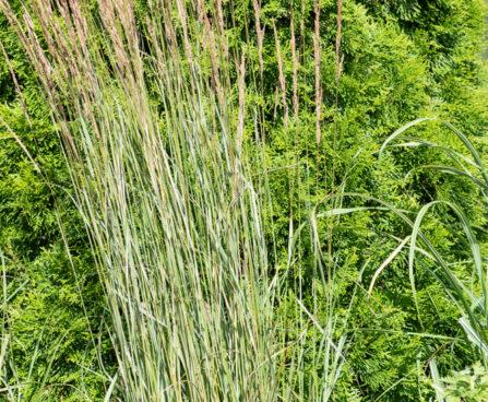 Calamagrostis x acutiflora `Overdam` teravaõieline kastik (2)