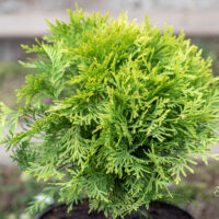 Thuja occidentalis `Amber Glow` har.elupuu (1)