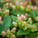 Hypericum mix naistepuna (2)