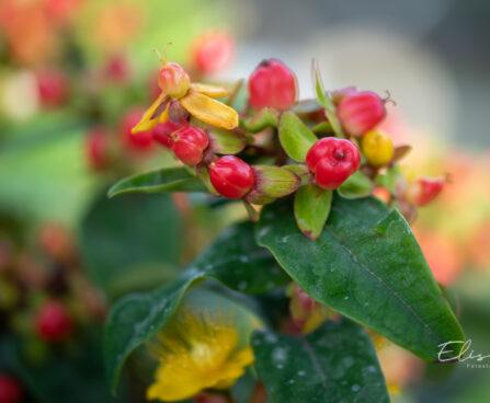 Hypericum mix naistepuna (3)