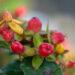 Hypericum mix naistepuna (4)
