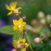 Hypericum mix naistepuna (5)