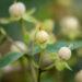 Hypericum mix naistepuna (7)