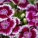 Dianthus barbatus habenelk (1)