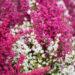 Erica gracilis sale eerika (1)