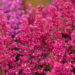 Erica gracilis sale eerika (2)