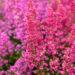 Erica gracilis sale eerika (3)