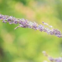 Molinia caerulea `Moorhexe` sinihelmikas