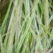 Calamagrostis x acutiflora `Overdam` teravaõieline kastik (1)