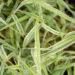 Phalaris arundinacea `Picta` päideroog (3)
