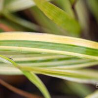 Hakonechloa macra `Aureola` ainuroog (1)