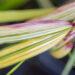 Hakonechloa macra `Aureola` ainuroog (2)
