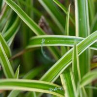Carex morrowii `Ice Dance` jaapani tarn