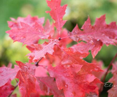 Quercus rubra `Aurea` punane tamm (1)