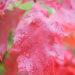Quercus rubra `Aurea` punane tamm (2)