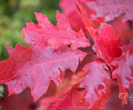 Quercus rubra `Aurea` punane tamm (3)