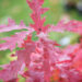 Quercus rubra `Aurea` punane tamm (4)