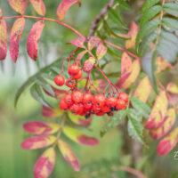 Sorbus `Dodong` pihlakas (2)