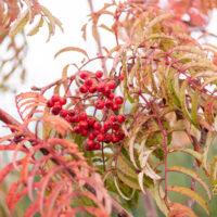 Sorbus `Chinense Lace` pihlakas (5)