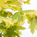 Acer platanoides `Drummondii` harilik vaher