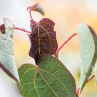Cercidiphyllum japonicum `Rotfuchs` jaapani juudapuulehik