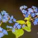 489_11029_Brunnera_macrophylla_Jack_Frost__2.jpg