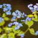 489_11031_Brunnera_macrophylla_Jack_Frost_.jpg