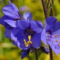 596_7649_Polemonium_caeruleum_Bressingham_Purple__3.JPG