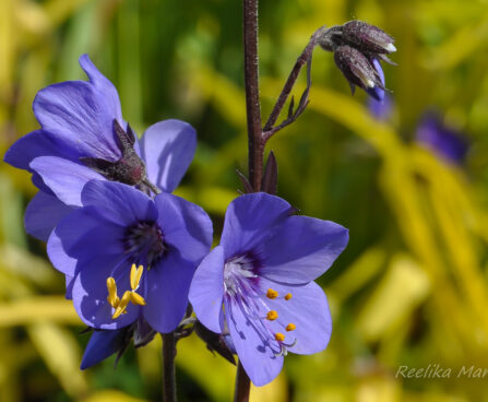 596_7650_Polemonium_caeruleum_Bressingham_Purple_.JPG