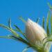 601_8184_Pulsatilla_vulgaris__4.JPG