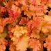 751_10659_HEU_Marmalade_449065Heuchera_helmikpooris.jpg