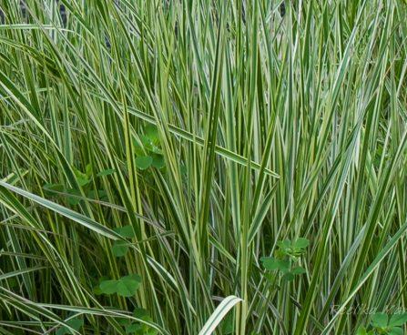 Calamagrostis x acutiflora `Overdam` teravaõieline kastik.JPG