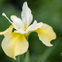 1204_10992_Iris_sibirica_Butter_and_Sugar__siberi_iiris.jpg