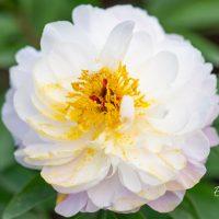 1213_10142_Paeonia_lactiflora_Raspberry_Sundae_pojeng_2.jpg