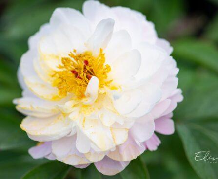 1213_10143_Paeonia_lactiflora_Raspberry_Sundae_pojeng.jpg