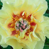 1895_7576_Paeonia_Itoh_Garden_Treasure_.JPG