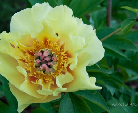 1895_7577_Paeonia_Itoh_Garden_Treasure__2.JPG