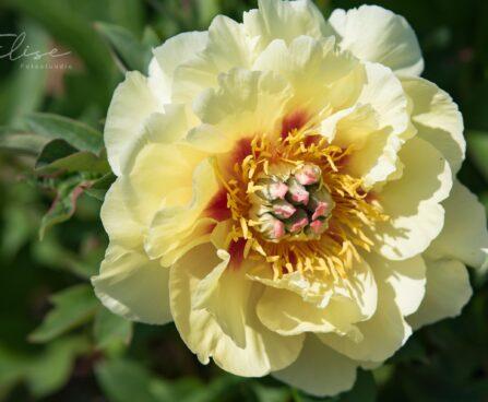 1895_8782_Paeonia_Itoh_Garden_Treasure__2.JPG