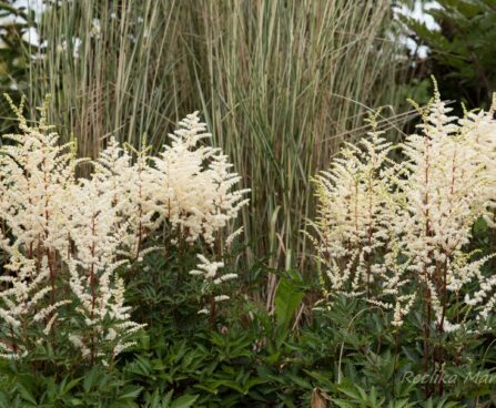 2310_6795_Astilbe_arendsii_Cappuccino.JPG