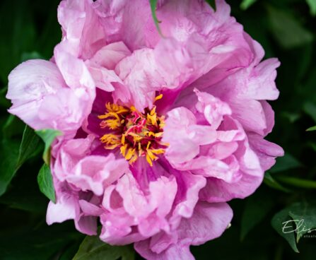 2370_10269_Paeonia_Itoh_First_Arrival__pojeng.jpg