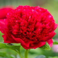 2603_10265_Paeonia_lactiflora_Red_Charm__pojeng._2.jpg