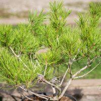 2741_9964_Pinus_densiflora_Alice_Verkade_kalmumand_2.jpg
