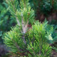 2744_6544_Pinus_leucodermis_Malinki_.JPG