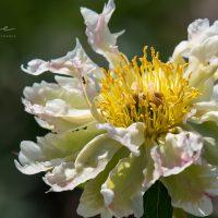 2890_8748_Paeonia_lactiflora_Green_Lotus_2.JPG