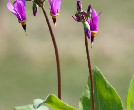 3077_8355_Dodecatheon_meadia_Red_Wing_3.JPG