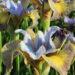3280_9430_Iris_Uncorked-3-D.jpg