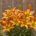 3283_9460_Lilium_Fantasiatic_Spark-2_crop-D.jpg